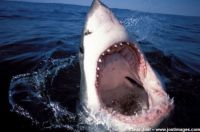 Great White Shark 4 - Klas Jost - www.jostimages.com