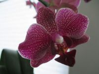 Vickie's Orchid