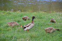 Cumbrian ducks