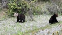 Bear Cub Spotted In Alberta With Unique White Head