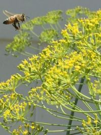 Bee Landing on Dill Weed