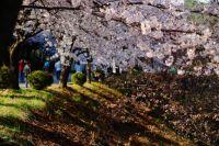 KyungHee Uni_ Cherry blossom
