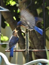 Feeding His Mate