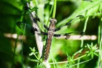 """""""Dragonfly in upstate New York"""""""