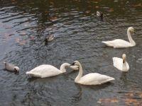 swans&ducks