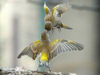yellow kissing birds