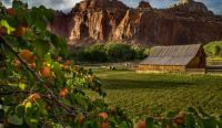 Apricot Orchard Overlooking Red Rock Cliffs