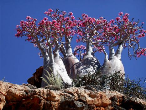Socotra Island Rose Trees, Indian Ocean