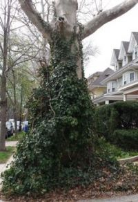 Ivy growing on a Tree