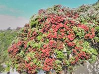 Pohutukawa tree (New Zealand Christmas Tree)