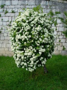 Cool flowering bush in Italy.
