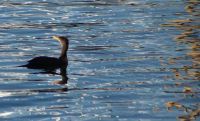 Cormorant and Reflections