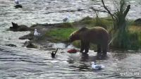 Brown Bear with Salmon Lunch