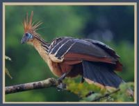 HOATZIN CHICKS ARE BORN WITH CLAWS ON THEIR WINGS.