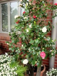 two camellias mixed