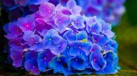 1  ~  Blue Hydrangea.