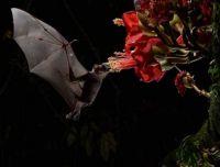Cave Nectar Bat in Borneo (Eonycteris spelaea)