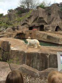 Polar Bear pacing