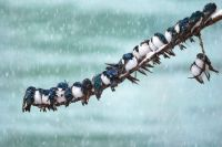 Tree swallows (Tachycineta bicolor) huddle through a spring snowstorm in Canada's Yukon Territory, by Keith Williams