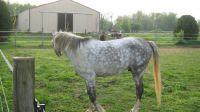 arab race horse