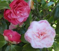 "Different shades of pink on my ""White Camellia"