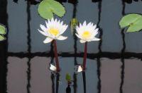 Water Lilies inside the Botanical Garden
