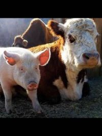 Pig Cow