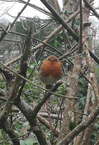 Cornish Robin