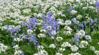 Bärlauch und Bluebells - Frühling in England
