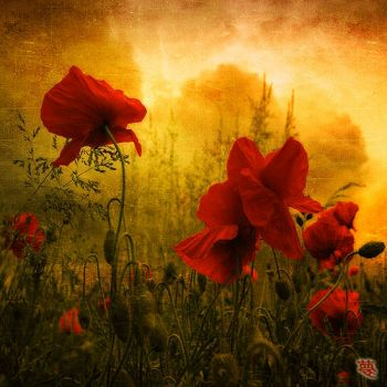 Red Poppies in Golden Light