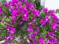 My Bougainville