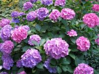 hydrangeas--and it's gonna be another good year for them