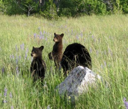Bears at Waterton Lakes NP