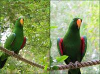 Mango the Eclectus Parrot