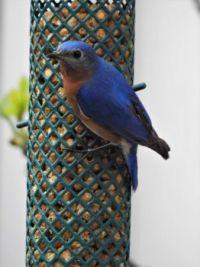 Bluebird at the Suet Feeder