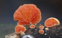 interesting-mushroom-photography-88__880.jpg Crepidotus