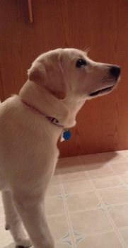my new English Lab puppy