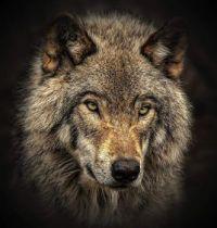 4  ~  Grey Wolf.