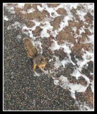 63 Squirrel