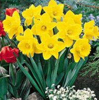 daffodils...my #2 fav.