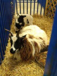 Jacob sheep mother and lamb