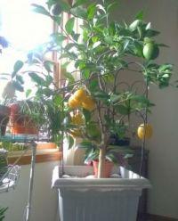 lemon tree 11 28 18