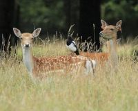 Fallow Deer with Magpie