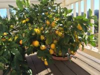 Little loaded lemon tree