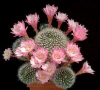 A beautiful blooming cactus