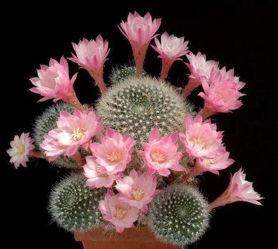 A beautiful blooming cactus