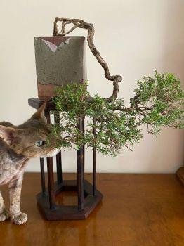 Ziya and Kunzea ambigua bonsai