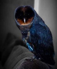 A rare black barn owl..