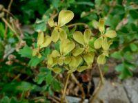 Geranium Gibbosum