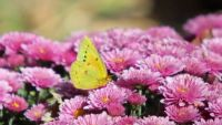 Yellow Butterfly on Pink Flowers at Arkalon